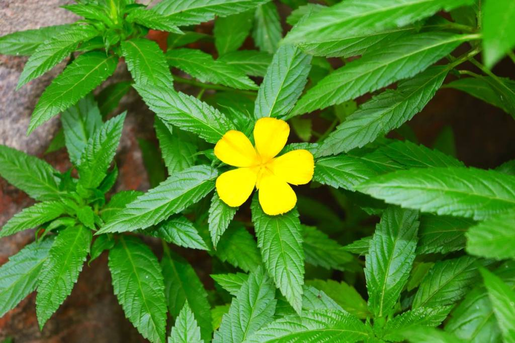 Damiana plant