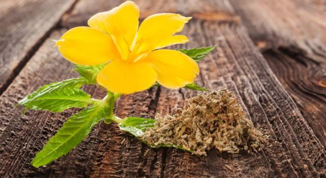 Damiana, the Mexican plant that promotes digestion
