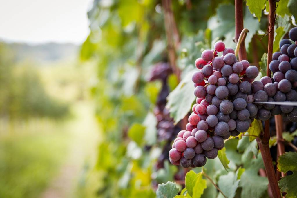 Grapes and vines in September season